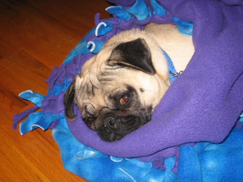 Cozy Pug1