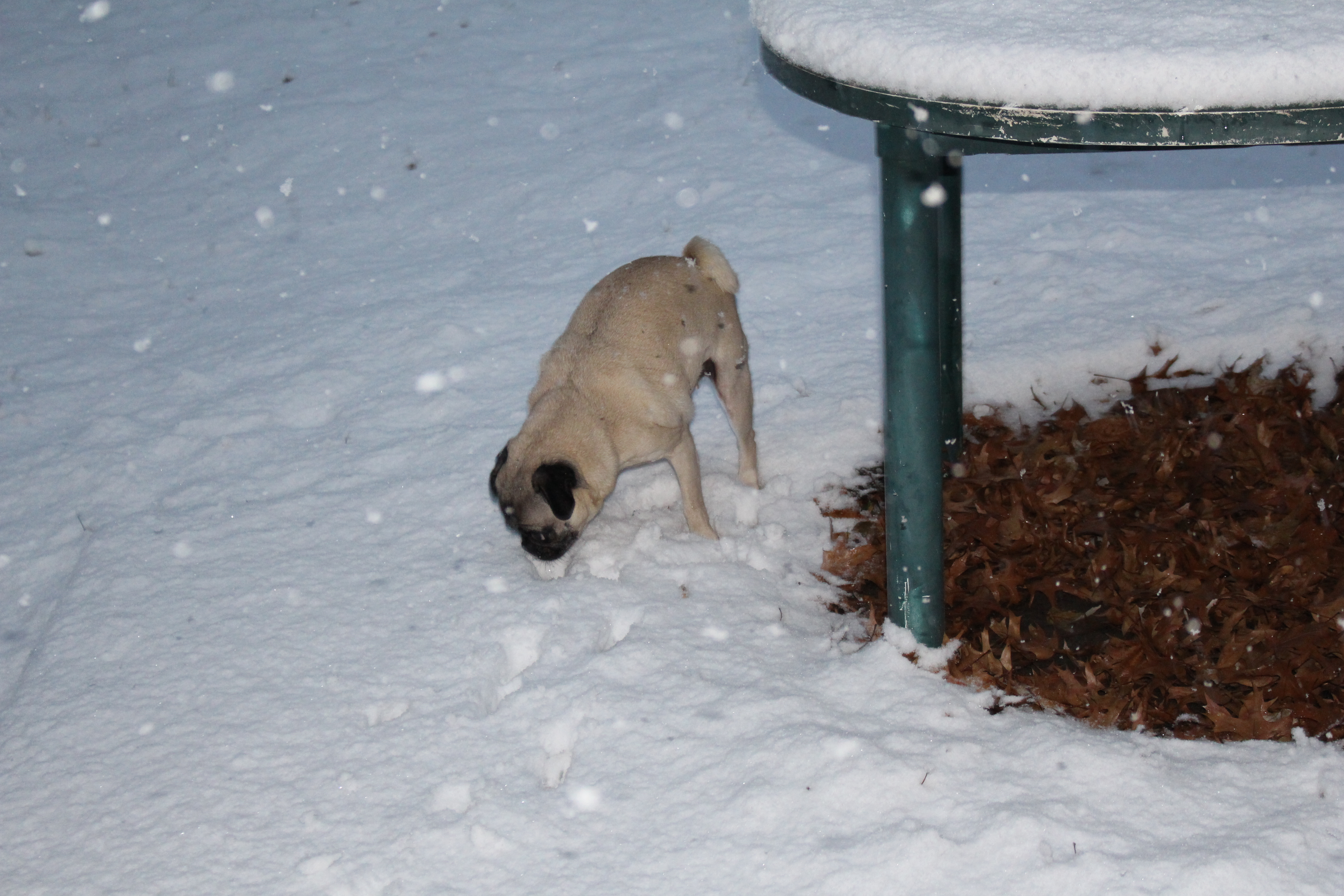 d13543e3b42 About Pug - Page 95 of 95 - Cute pugs