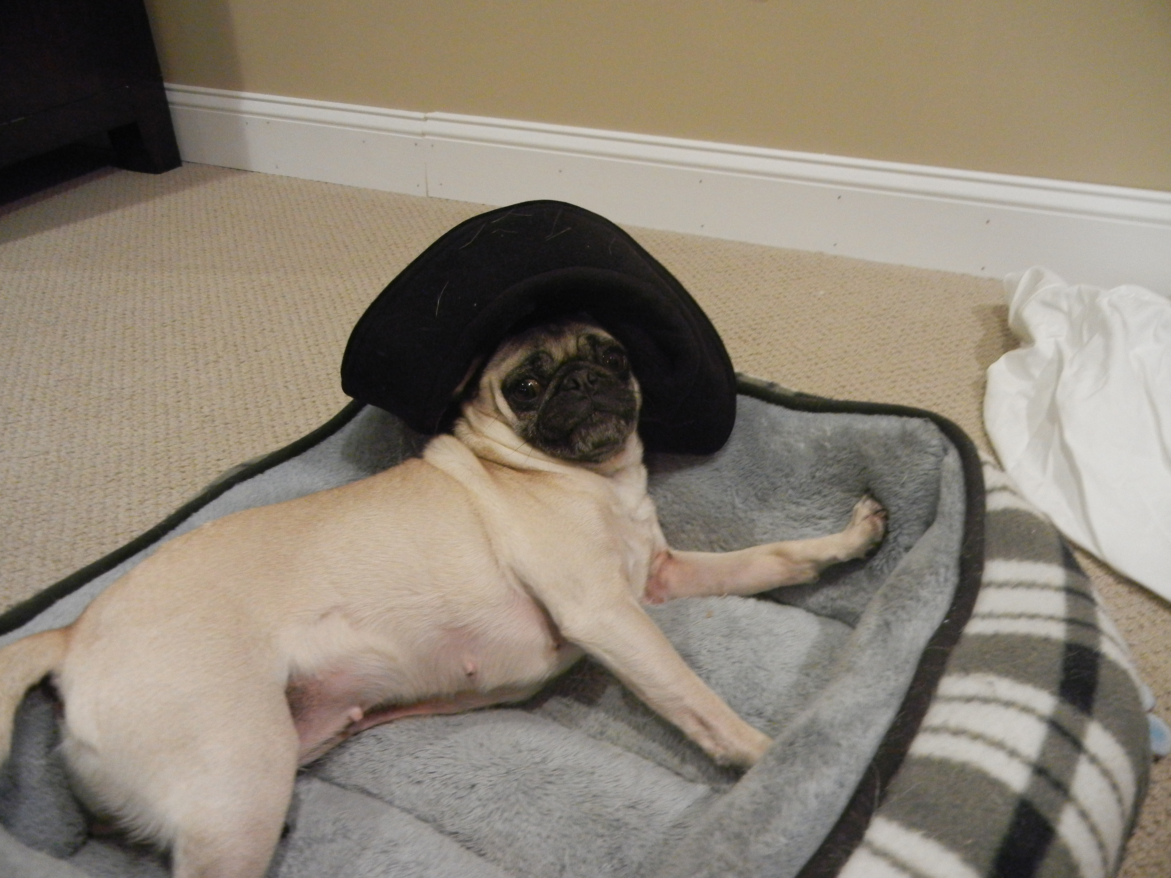 ab57aad9528 Pugs In Hats - About Pug