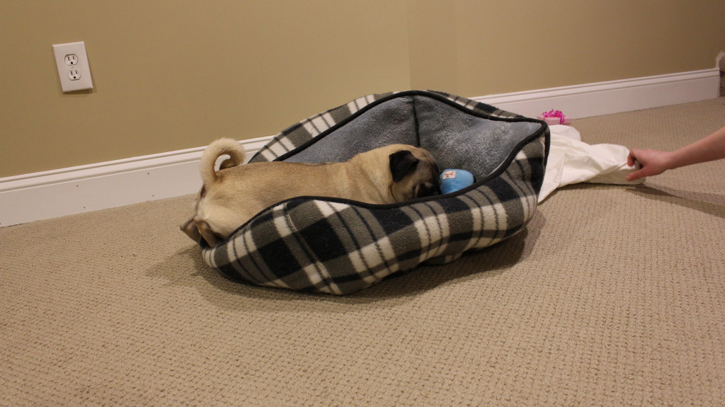 Pugs are the Masters of Subtlety