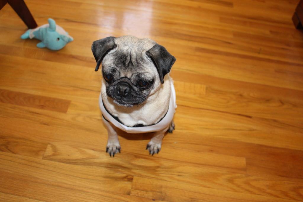 Pug All Dressed Up1