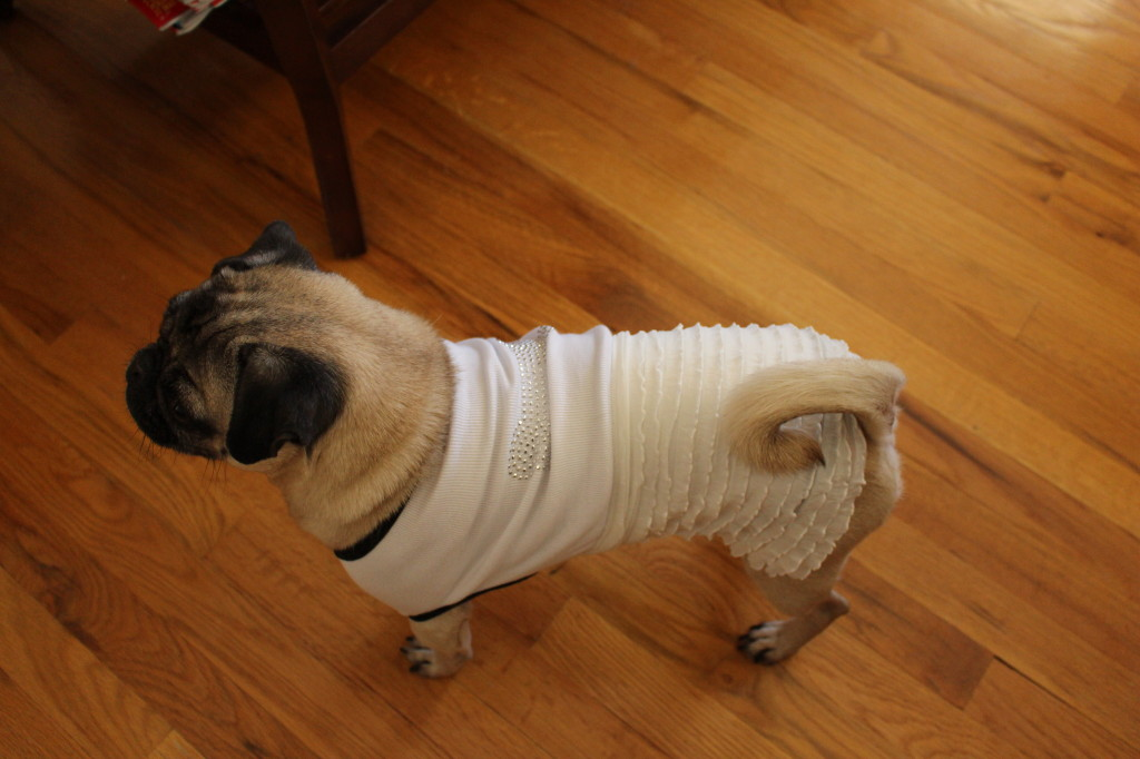 Pug All Dressed Up4