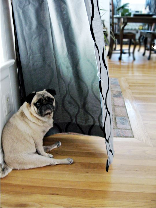 Pug Hiding 2