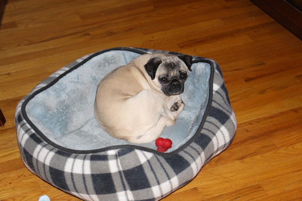 Sleepy Pug 1