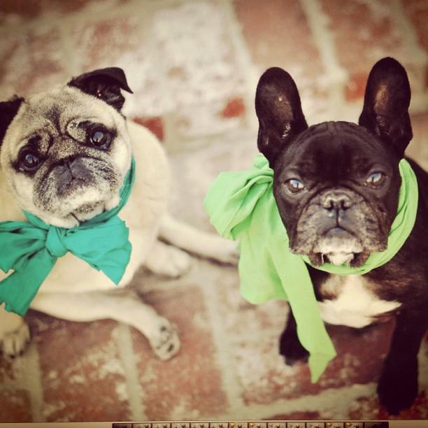 St Patrics Day Pug