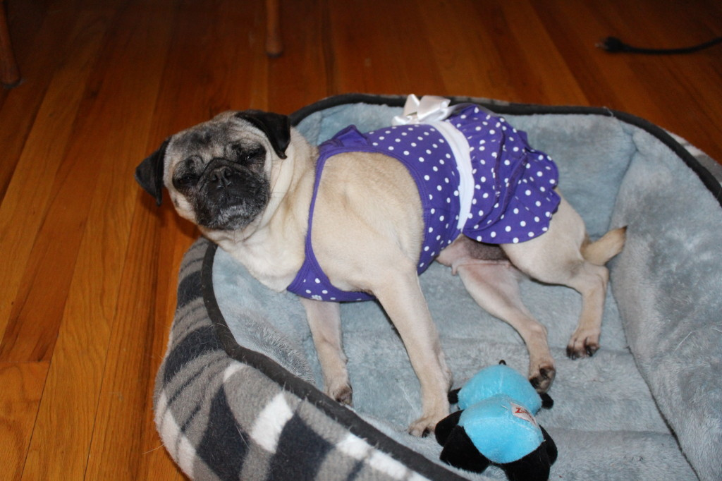 Sundress Pug 6