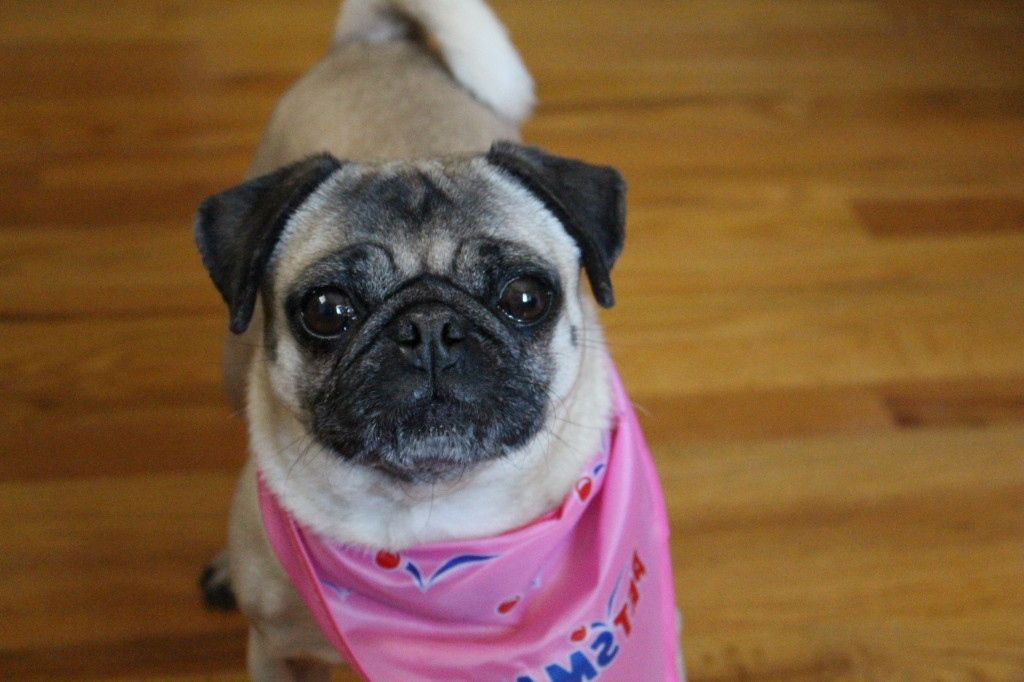 Well-Groomed Pug 3