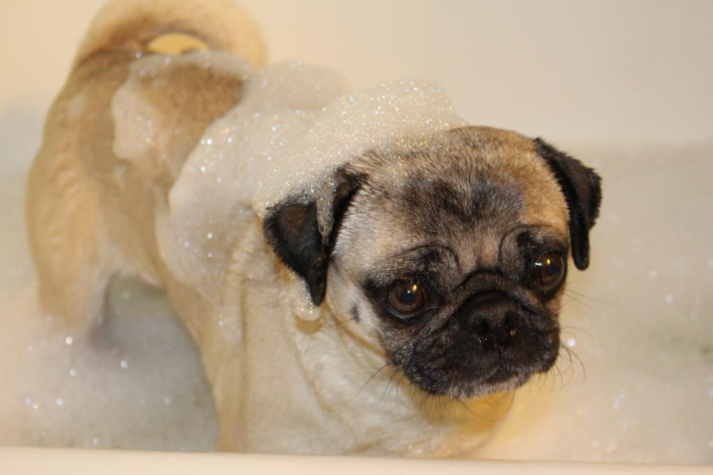 Pug in a Tub 3