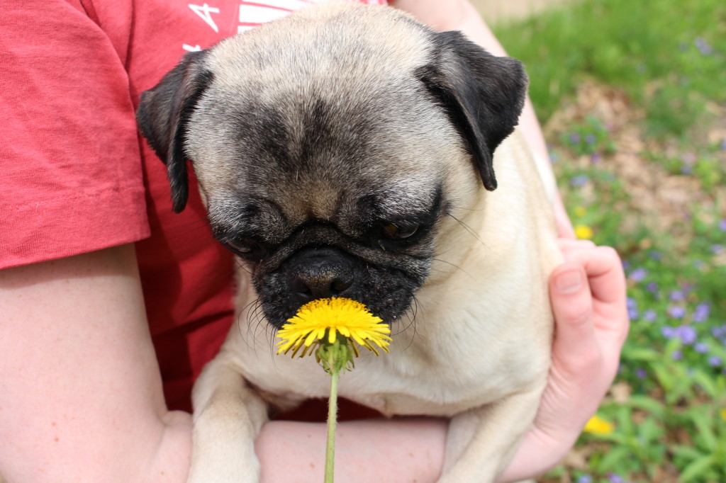 Smells Like Springtime Pug