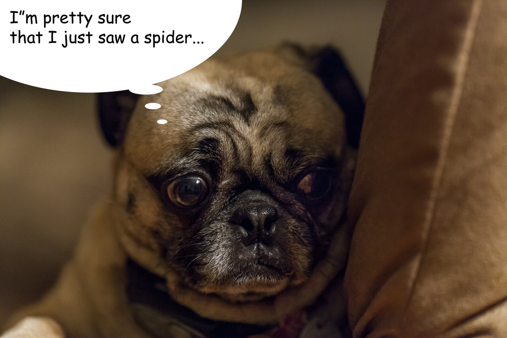 Spider Pug About Pug