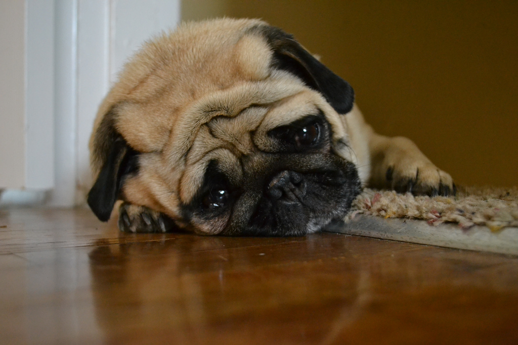 Why Are You Leaving Me Pug