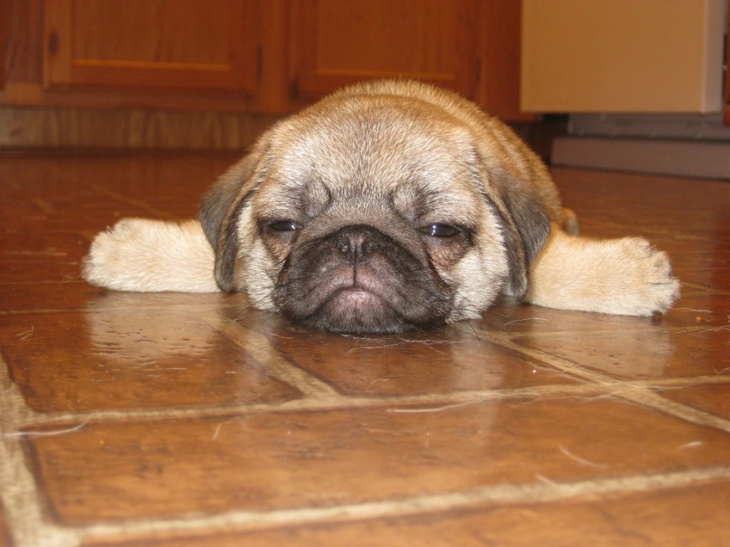 Almost Made it to the Weekend Pug