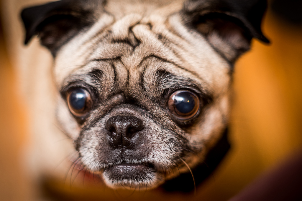 Does it Have to Be Monday Again pug