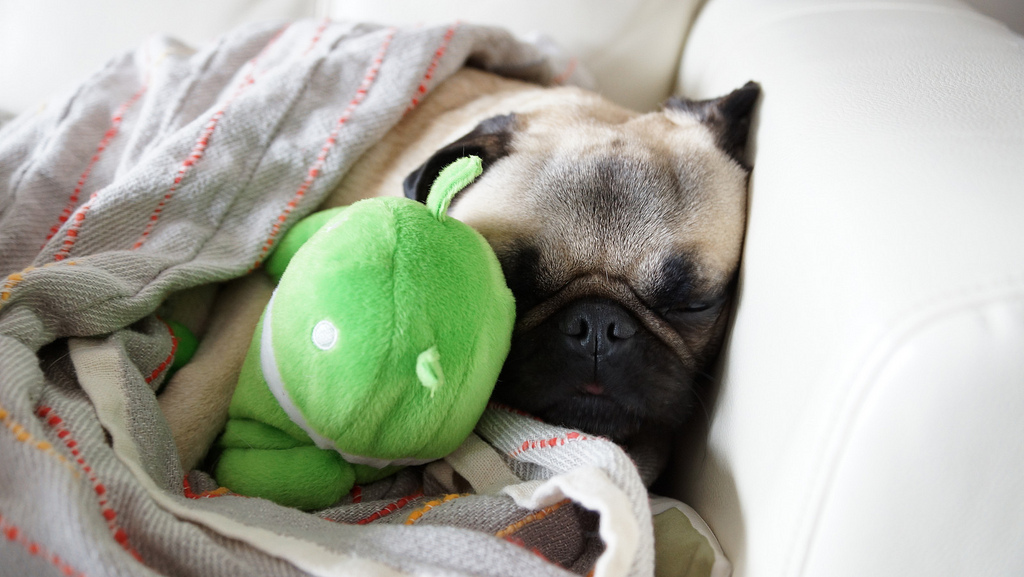 Great Day for a Nap Pug