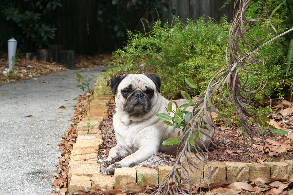 Pugs are Incredibly Photogenic