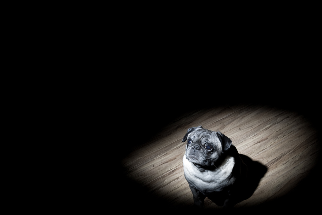 Spotlight on Pugs