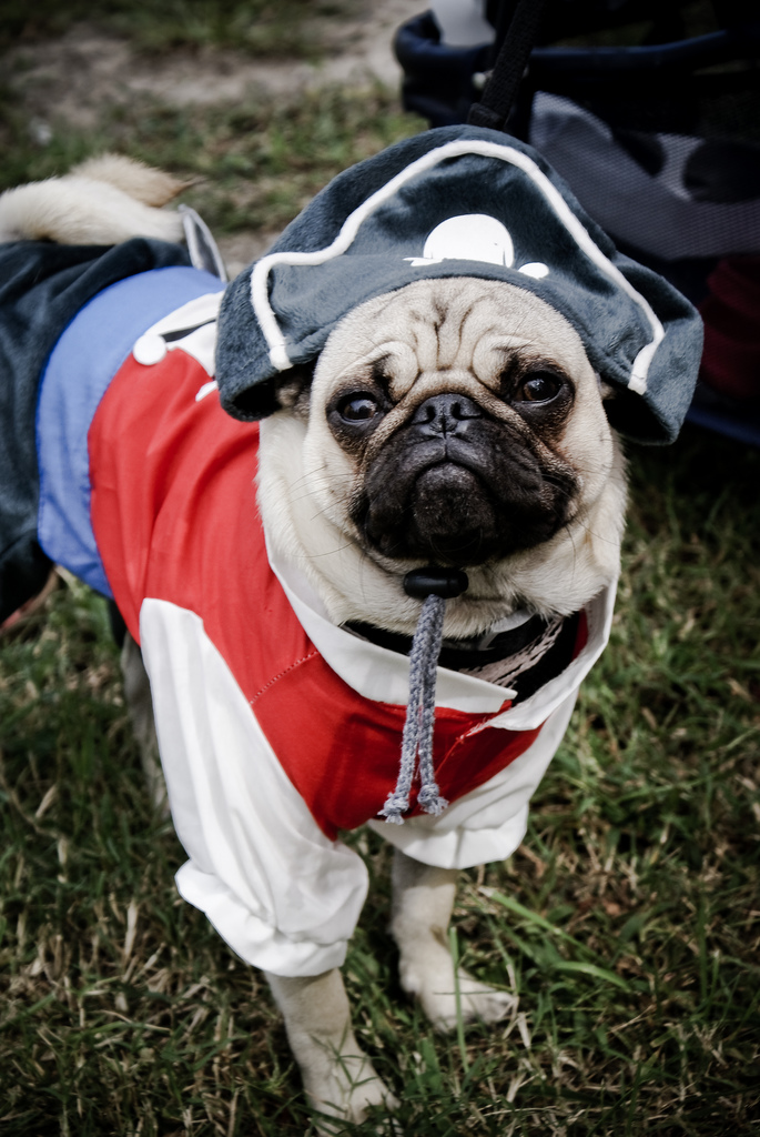 Friday Off Pirate Pug