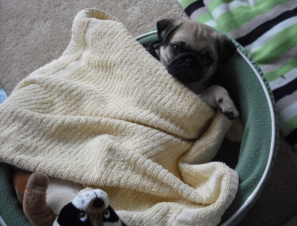 It's Hard to Get out of Bed Pug