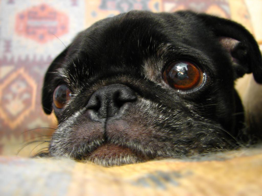 Now that you are awake pug