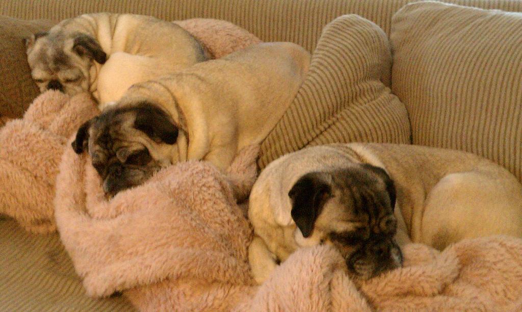 Pug Sleepover