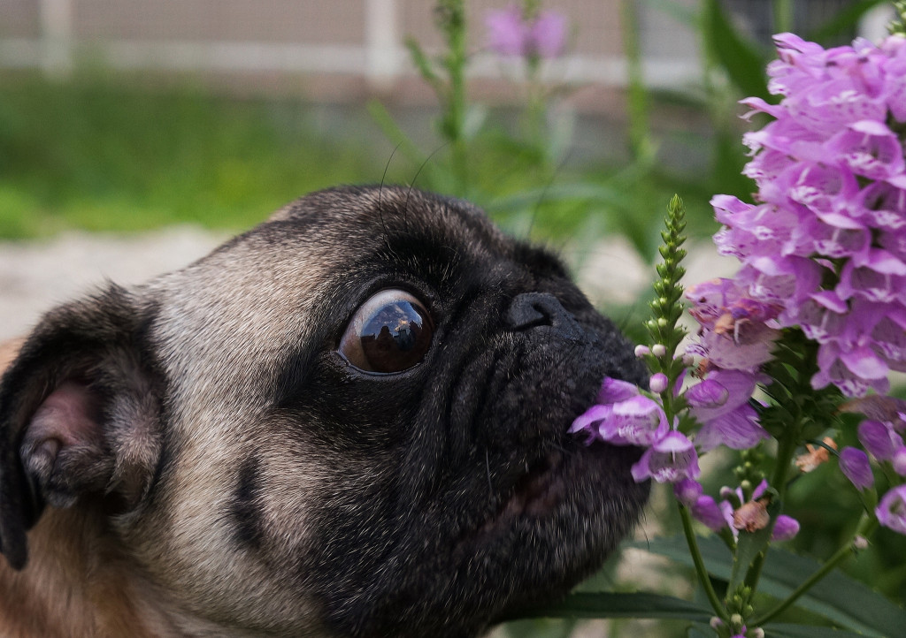 Smells so good you could eat it pug