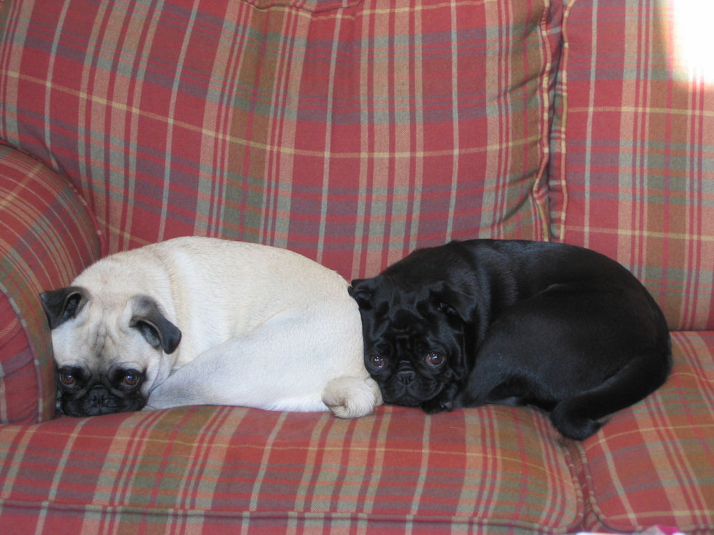 Sunday Pug Train