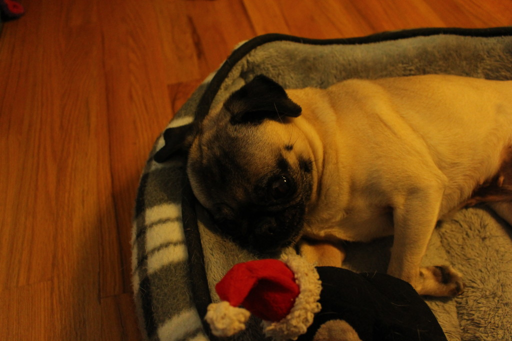 Tired Licking Pug 5
