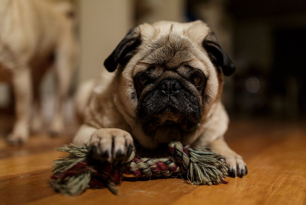 What do you mean the weekend is over pug