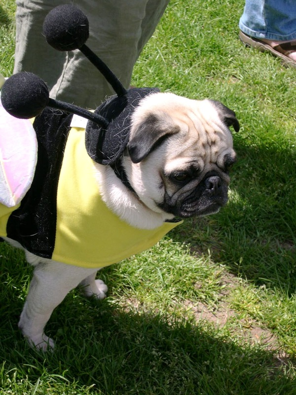 Bee Happy Pug