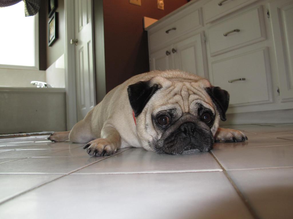 Cooling Off Pug