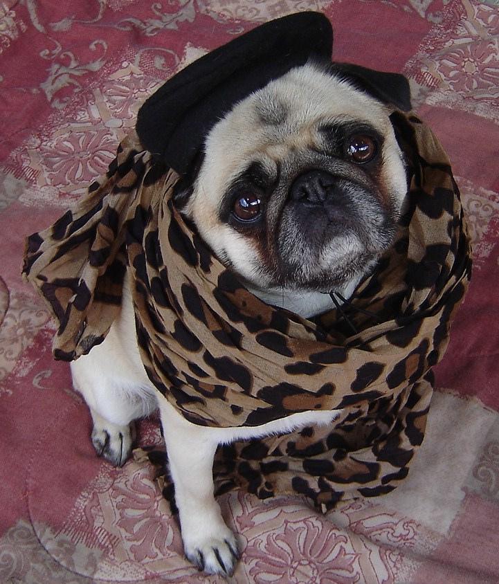 Fashion Pug