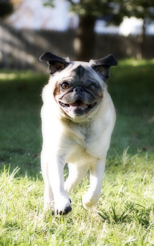 Frolicking in the Sun Pug