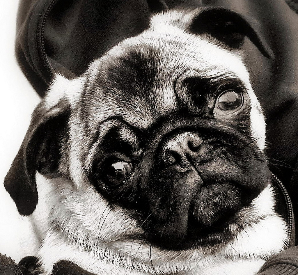 Glamorous in Black and White Pug