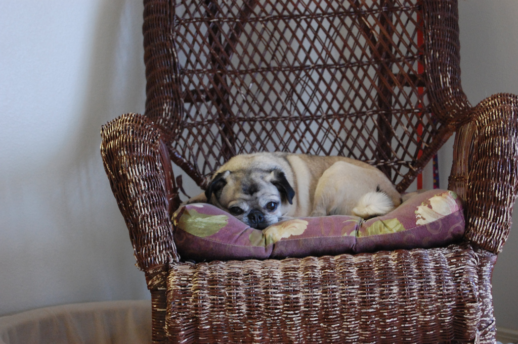 Just guarding your chair pug