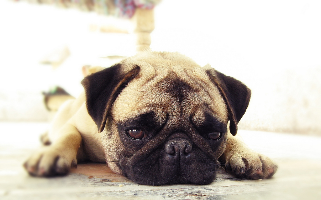 Lost in glorious pug thoughts