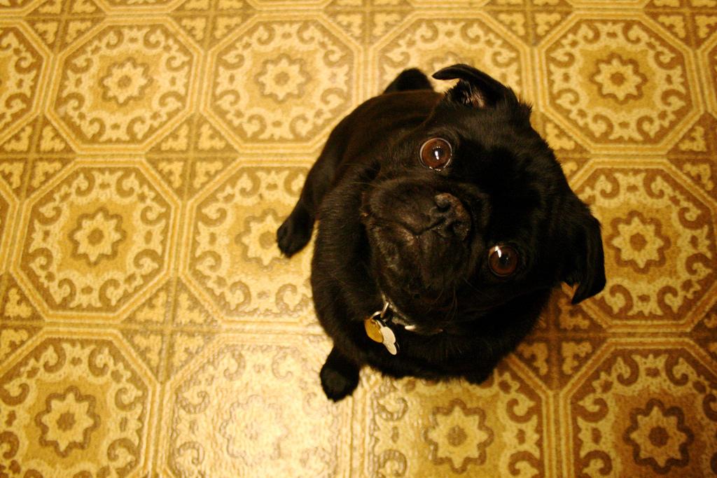 Perfect pug head tilt