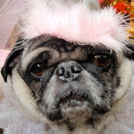 Pug dressed up in pink