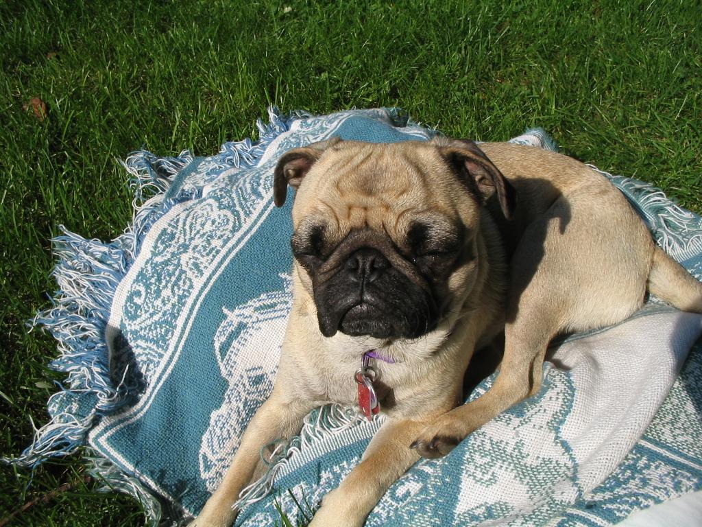 Sun so bright pug
