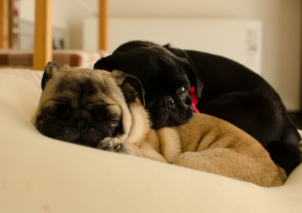 Cute Fawn and Black pug friends