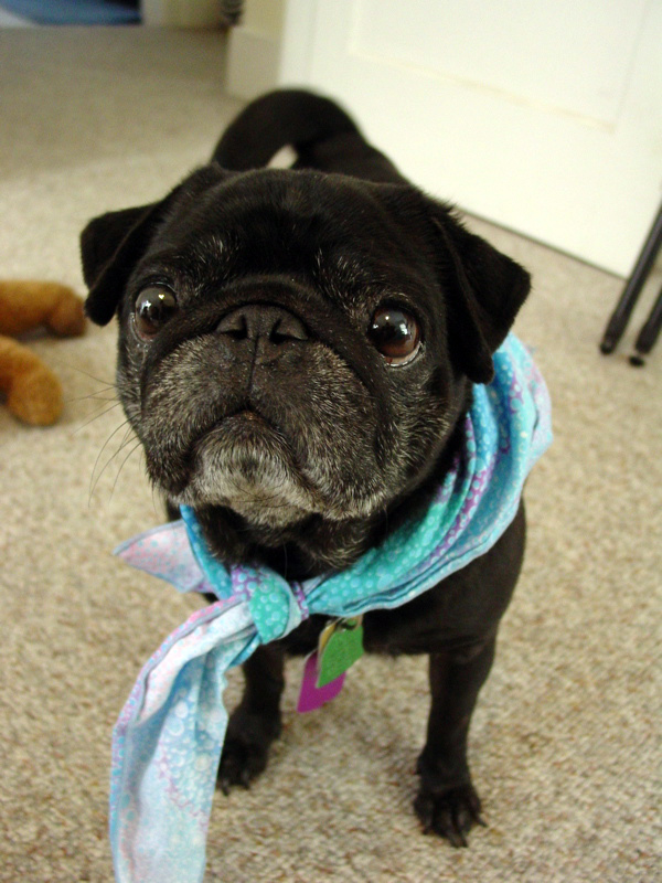 the power of a cute scarf pug