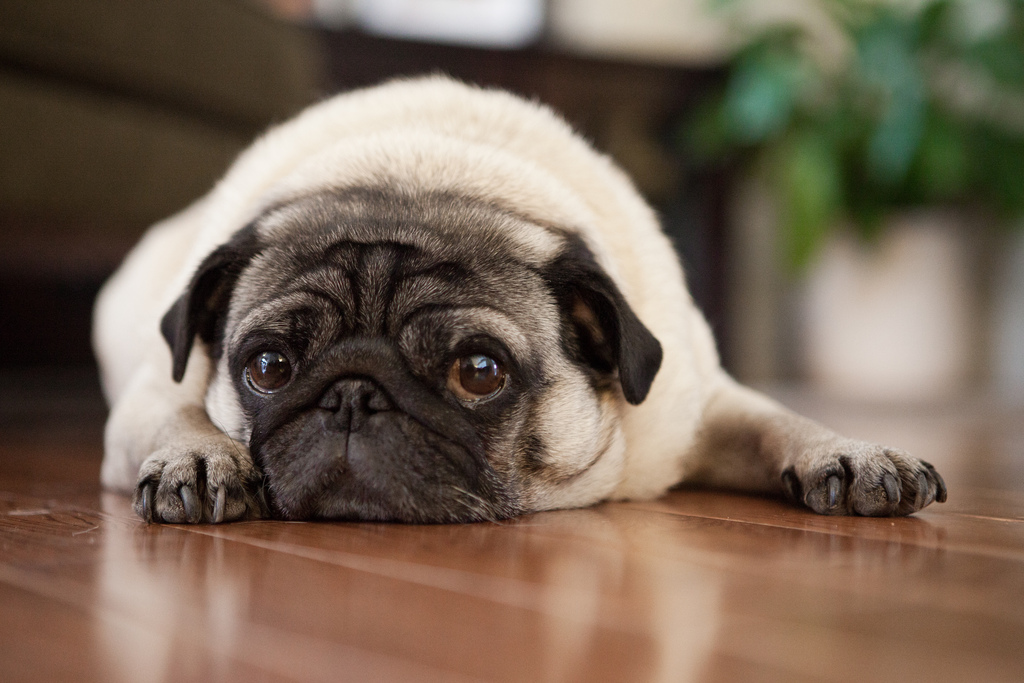 waiting to be petted pug