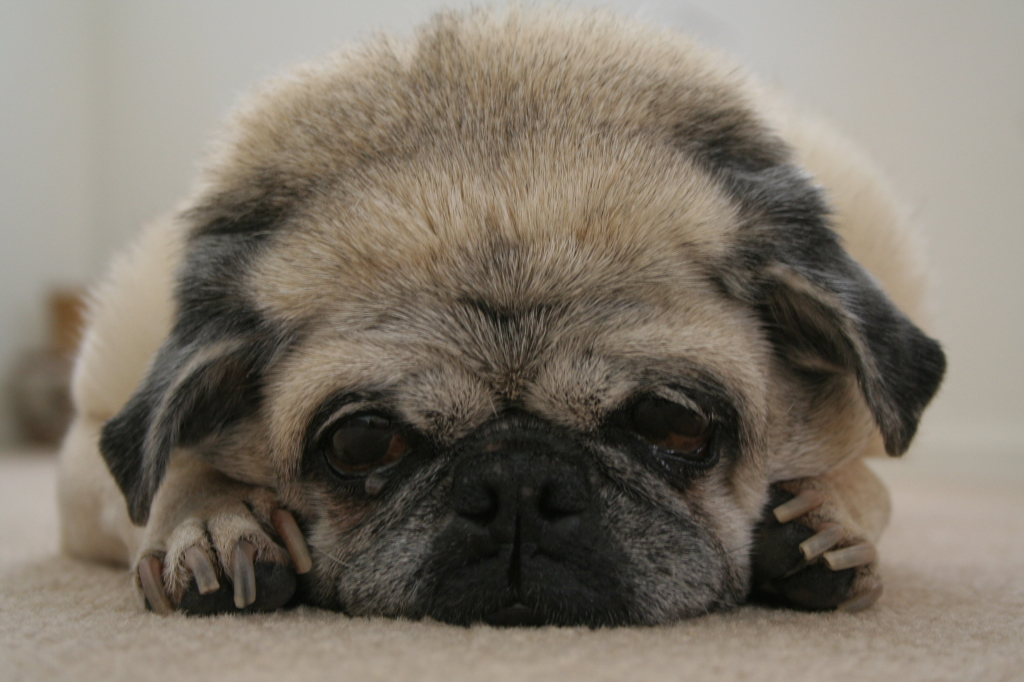Bad hair day pug