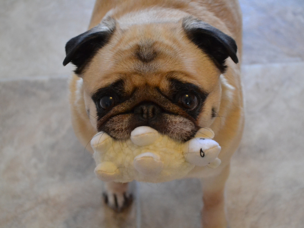 Can we play now pug