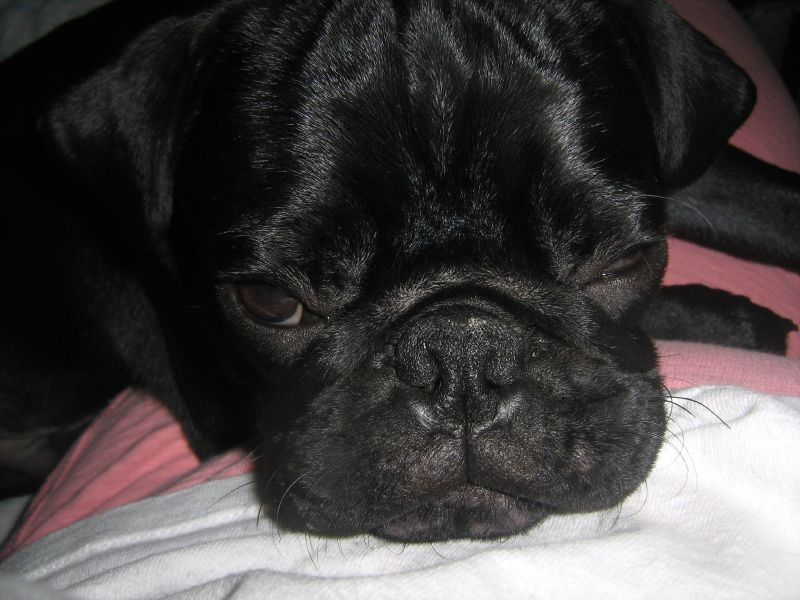 Go Away Monday Pug