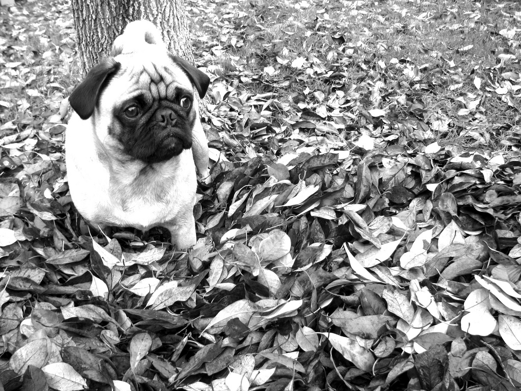 Happy first day of fall pug