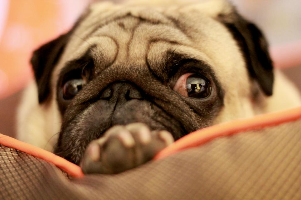 How is it only Wednesday pug