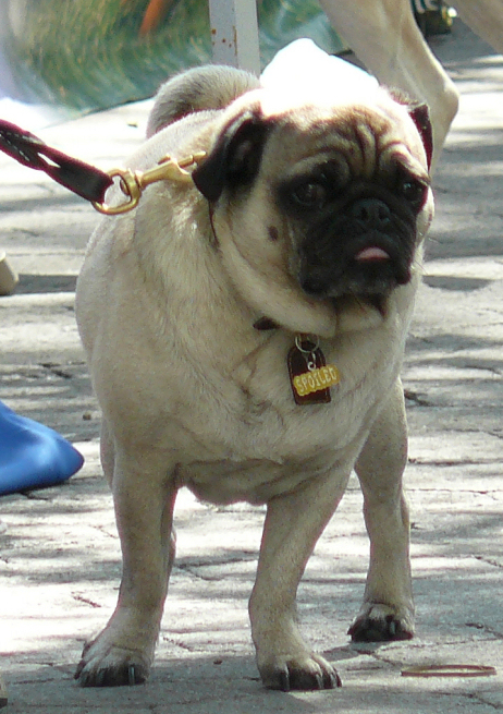 Out for a stroll pug