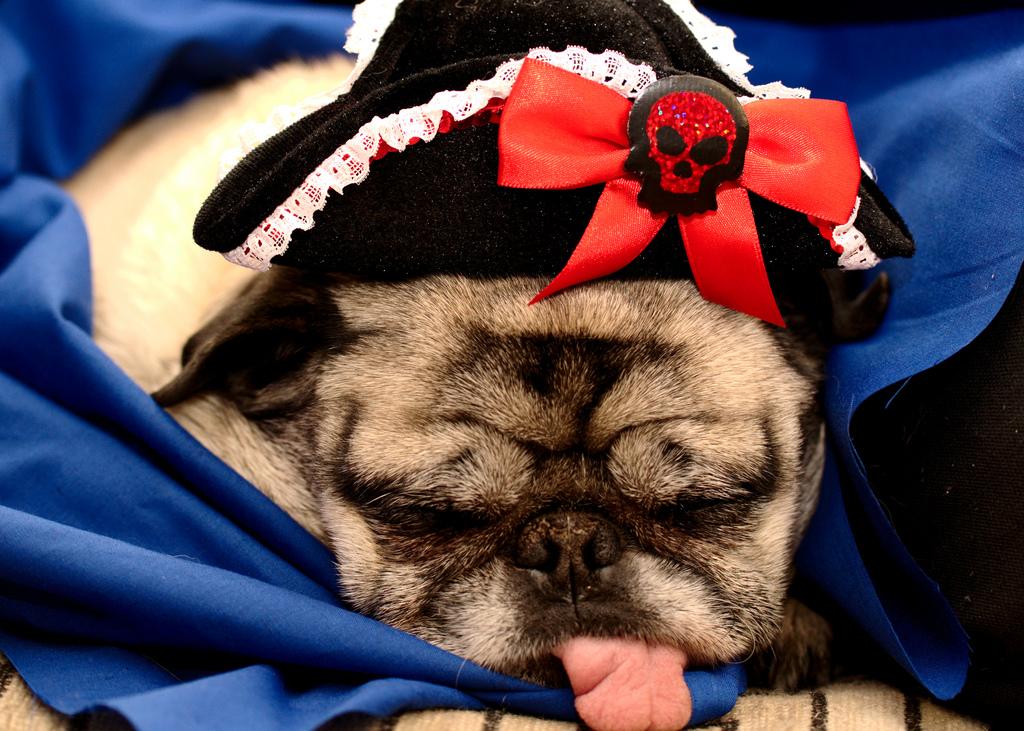 Pug Pirate 2