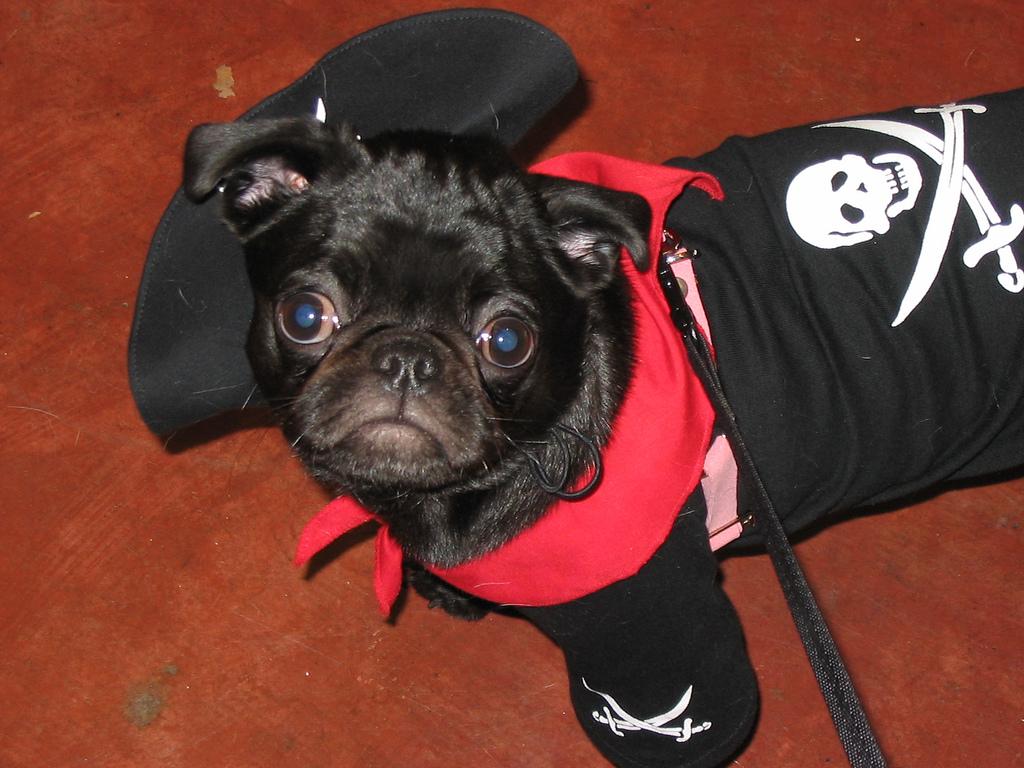 Pug Pirate 4