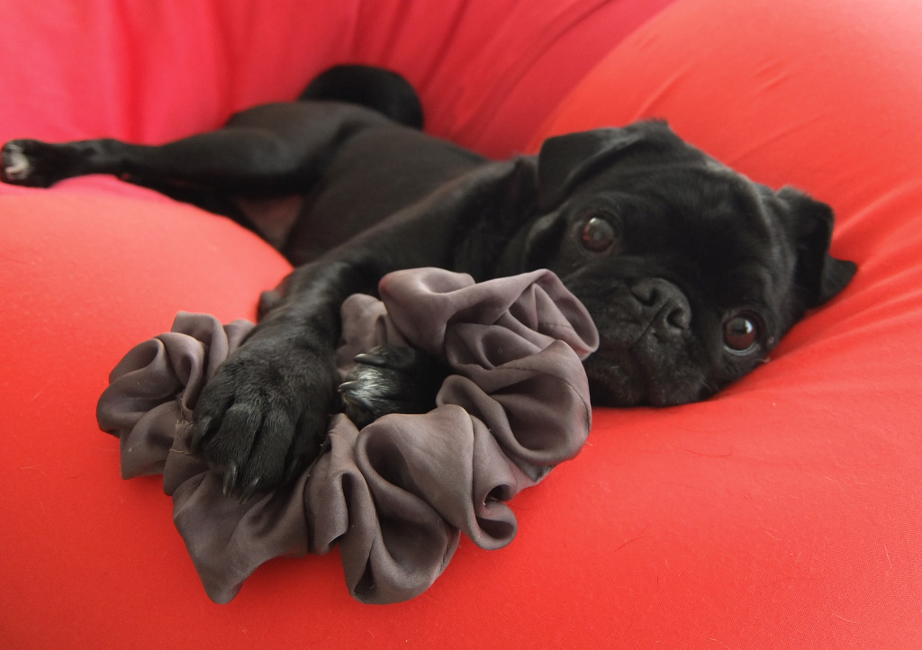 Pug Stealing your hairtie and your heart